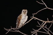 Barn Owl (Tyto alba) Perched on a branch Israel, The barn owl is used by Israeli farmers as a natural pest control. Barn owls are one of the most economically valuable wildlife animals to farmers. Farmers often find these owls more effective than poison in keeping down rodent pests, and they can encourage barn owl habitation by providing nest sites.