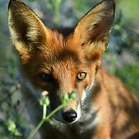 Female fox cub