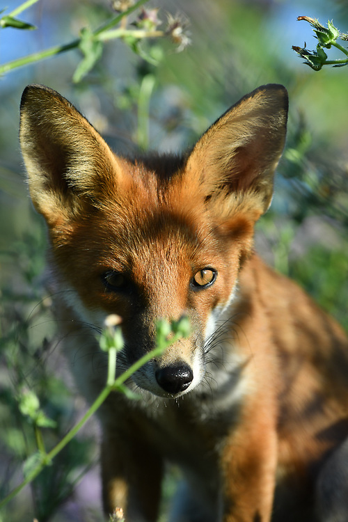 Female fox cub