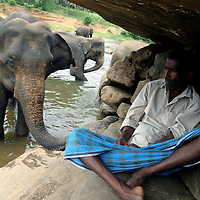 """PINNAWELA, OCTOBER-3 : an elephant keeps close to chief   mahout K.D. Sumanabanda who watches the herd and mahouts from underneath a stone at the Ma Oya river, October 3, 2005, Sri Lanka. Sumanabanda descends from a mahout family  which is linked to the Kandyan kings.  At the age of 10 he was perfect in """" elephant language"""" and sent to the Colombo Zoo for 2 years additional training.  Sumanabanda is unique as he has never been attacked by an elephant and personally trains all elephants at the orphanage. He says :"""" they are my friends , we know each other """". Although he is a quiet person, he closely watches the young mahouts from the bushes and is present as soon as he perceives a problem. Sumanabanda also trains volunteers from all over the world in his tree house and as well as """"foreign mahouts """" (elephant keepers) from zoos in Austria, Canada and the Netherlands. .PINNAWELA, OCTOBER-3 : an elephant greets a visitor   in Pinnawela, October 3, 2005, Sri Lanka.   .The Pinnawela orphanage was started in 1975 and initially designed to afford care and protection to the many baby elephants found in the jungle without their mothers. In most cases the mother either had died or been killed. .Animals are allowed to roam freely duringthe day and a herd structure allows to form. there are only a few elephant orphanges worldwide. At Pinnawela an attempt was made to simulate, in a limited way, the conditions in the wild. Currently the herd consists of 75 elephants under the surveillance of legendary  Mahout chief Sumanabanda."""