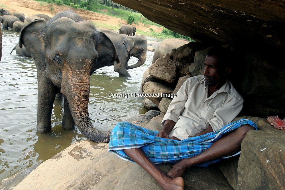 "PINNAWELA, OCTOBER-3 : an elephant keeps close to chief   mahout K.D. Sumanabanda who watches the herd and mahouts from underneath a stone at the Ma Oya river, October 3, 2005, Sri Lanka. Sumanabanda descends from a mahout family  which is linked to the Kandyan kings.  At the age of 10 he was perfect in "" elephant language"" and sent to the Colombo Zoo for 2 years additional training.  Sumanabanda is unique as he has never been attacked by an elephant and personally trains all elephants at the orphanage. He says :"" they are my friends , we know each other "". Although he is a quiet person, he closely watches the young mahouts from the bushes and is present as soon as he perceives a problem. Sumanabanda also trains volunteers from all over the world in his tree house and as well as ""foreign mahouts "" (elephant keepers) from zoos in Austria, Canada and the Netherlands. .PINNAWELA, OCTOBER-3 : an elephant greets a visitor   in Pinnawela, October 3, 2005, Sri Lanka.   .The Pinnawela orphanage was started in 1975 and initially designed to afford care and protection to the many baby elephants found in the jungle without their mothers. In most cases the mother either had died or been killed. .Animals are allowed to roam freely duringthe day and a herd structure allows to form. there are only a few elephant orphanges worldwide. At Pinnawela an attempt was made to simulate, in a limited way, the conditions in the wild. Currently the herd consists of 75 elephants under the surveillance of legendary  Mahout chief Sumanabanda."