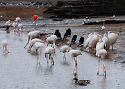 A flock of Pink Flamingos at a watering hole searching for food