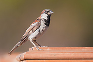 A house sparrow perches on a fence post, waiting its turn at a bird feeder