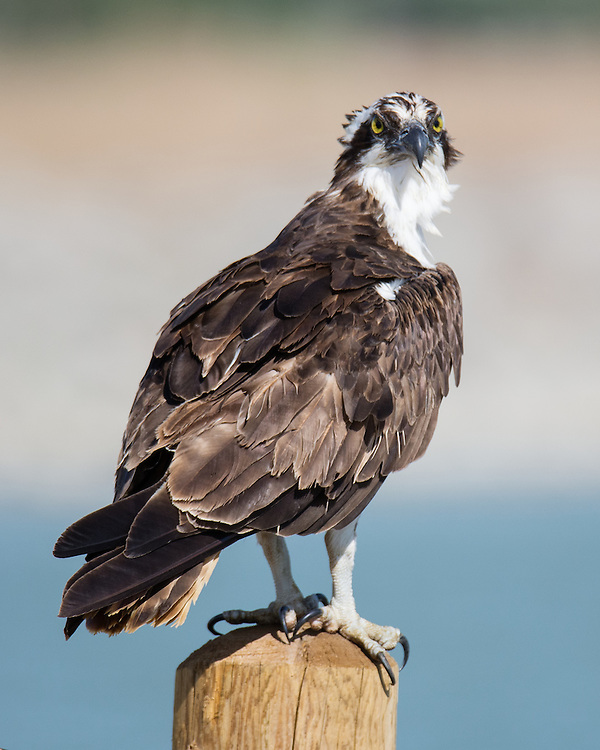Osprey, Longmont, Colorado