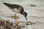 A lesser yellowlegs, a member of the sandpiper family, prowls the banks of Otto Lake, southwest of Healy, Interior Alaska, USA, North America. These waders, common to Southcentral and Interior Alaska in the spring, summer and fall, favor shallow-water habitats and are foragers that even run after small fish. When alarmed, they bob their heads and bodies vigorously.