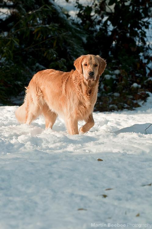 Dog (golden retriever) standing in snow