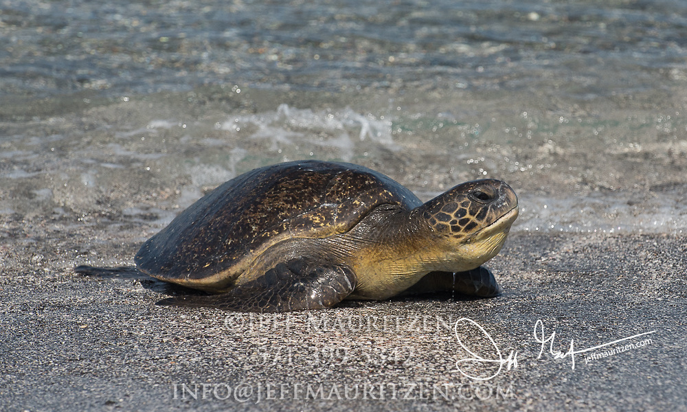 A Galapagos green sea turtle comes ashore on a beach on Fernandina island in the Galapagos archipelago of Ecuador.