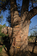 A makesfift wooden ladder leads to a treehouse in an old, big tree in Tucson, Arizona, USA.
