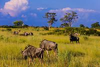 Blue wildebeest, Kwando Concession, Linyanti Marshes, Botswana.