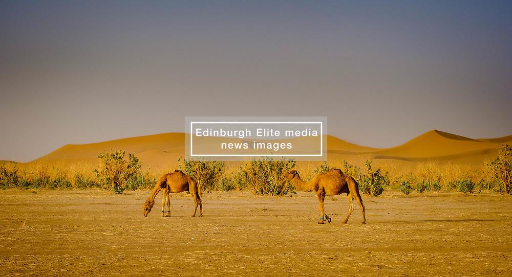Camels in the Moroccan Sahara Desert in the early morning<br /> <br /> (c) Andrew Wilson | Edinburgh Elite media