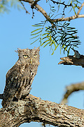 Gray morph Eastern screech-owl sitting on a branch
