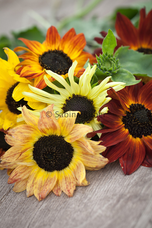Helianthus annuus 'Magic Roundabout' mix - sunflower