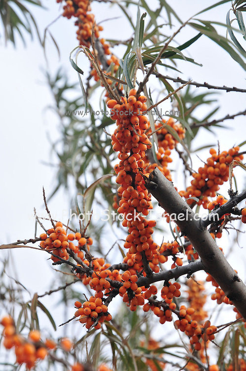 fruit of the Sea-buckthorn (Hippophae) Bush Photographed in Georgia, Caucasus Mountains