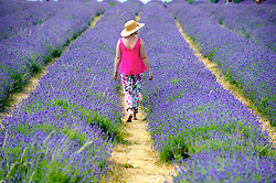 © Licensed to London News Pictures. 19/07/2018. Banstead, UK. A woman walks through a row of Lavender plants at Mayfield Lavender Farm in Banstead. Photo credit: Grant Falvey/LNP