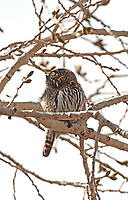 A Northern Pygmy Owl rests in the midday sun.