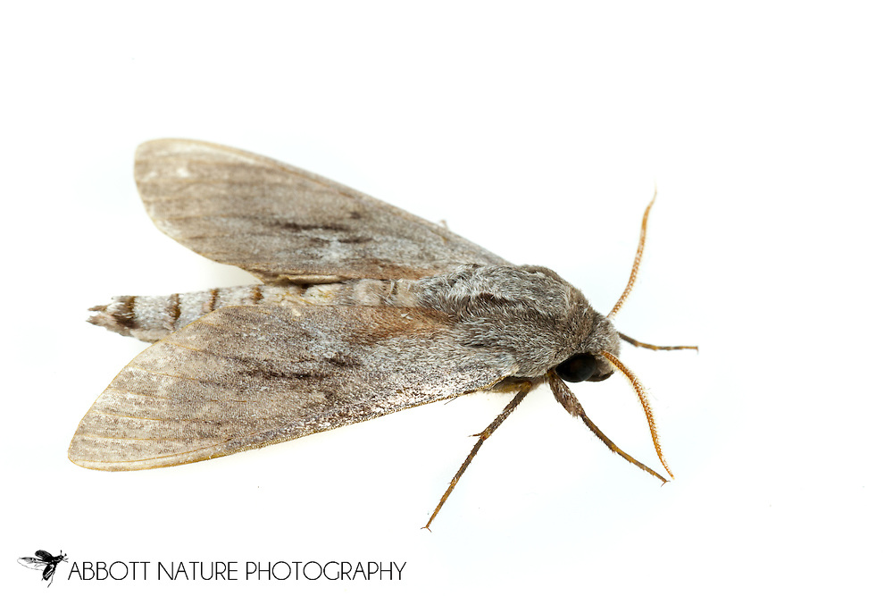 Southern Pine Sphinx - Hodges#7816 (Lapara coniferarum)<br /> United States: Alabama: Tuscaloosa Co.<br /> Tulip Tree Springs off Echola Rd.; Elrod<br /> 24-Jun-2016<br /> J.C. Abbott #2837