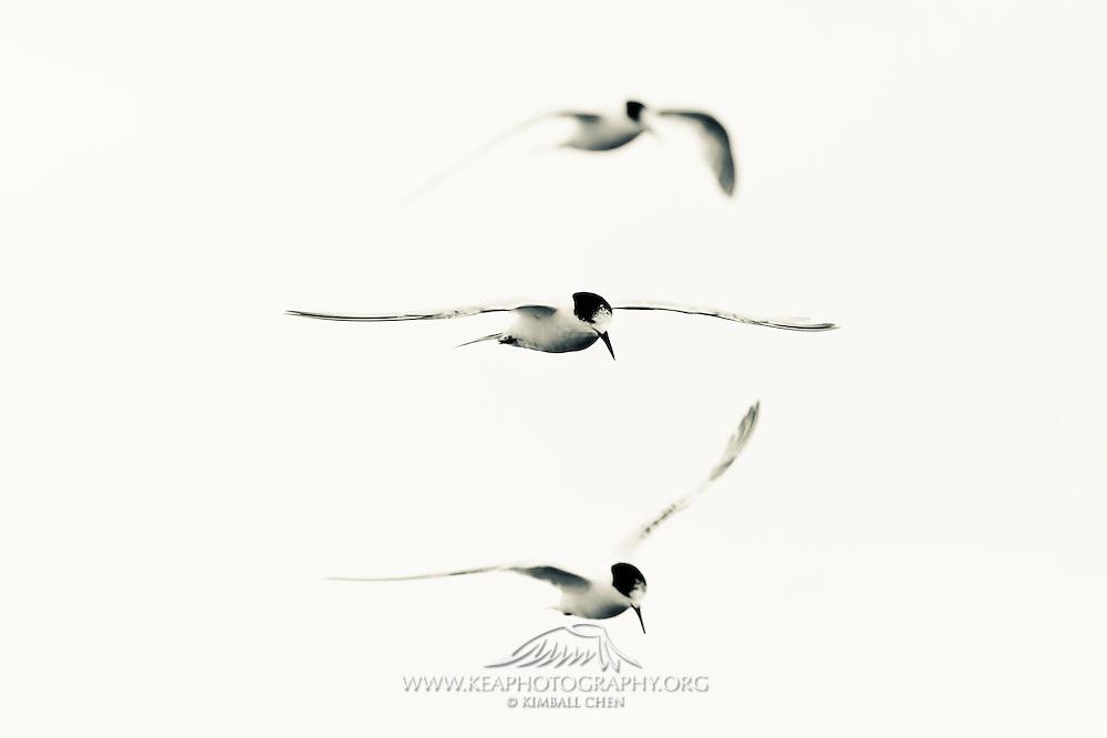 White-fronted Tern, Stewart Island