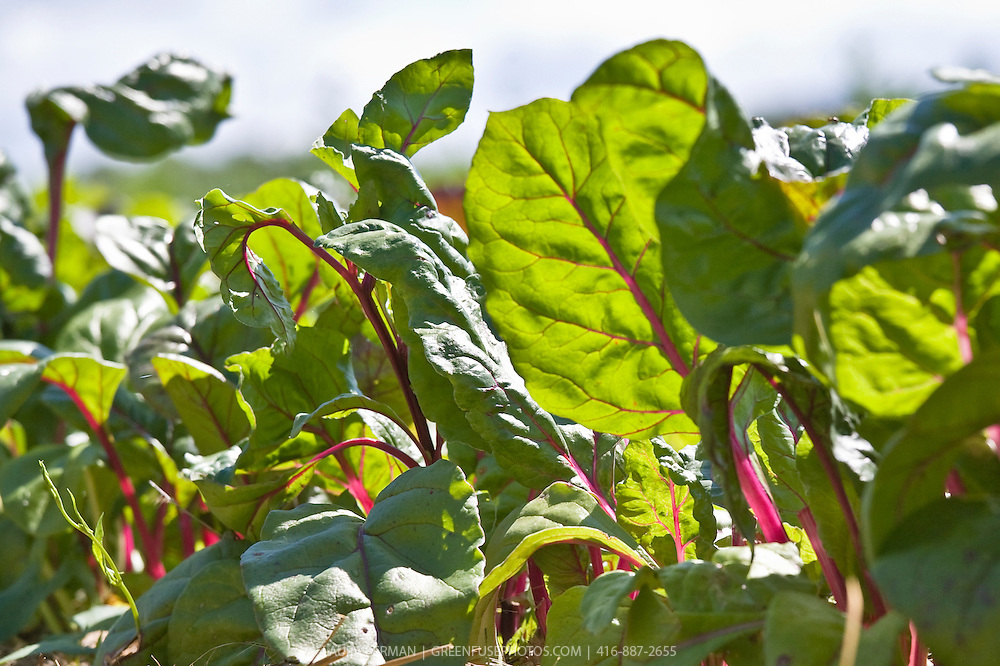 Red-stem chard plants growing in a a garden under a summer sky.