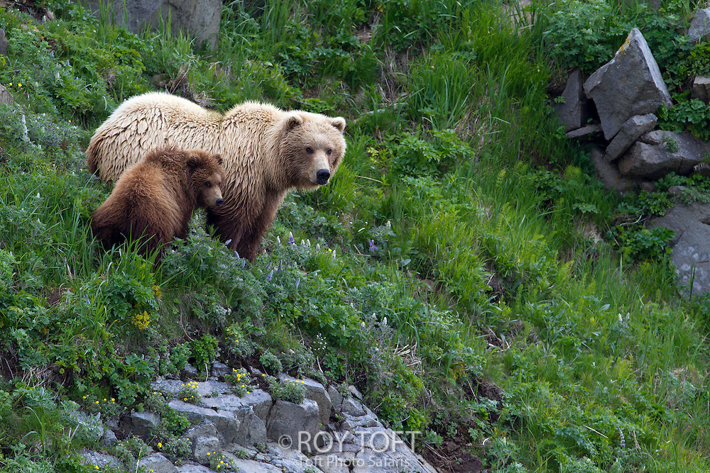 Adult and juvenile brown bear foraging for food, Kuka Bay, Alaska