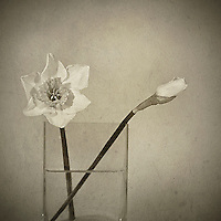 One daffodil in full bloom and one daffodil bud in a glass vase set against a pale patterned background