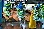Banana Factory Worker Washes Bananas On Assembly Line In Costa Rica.
