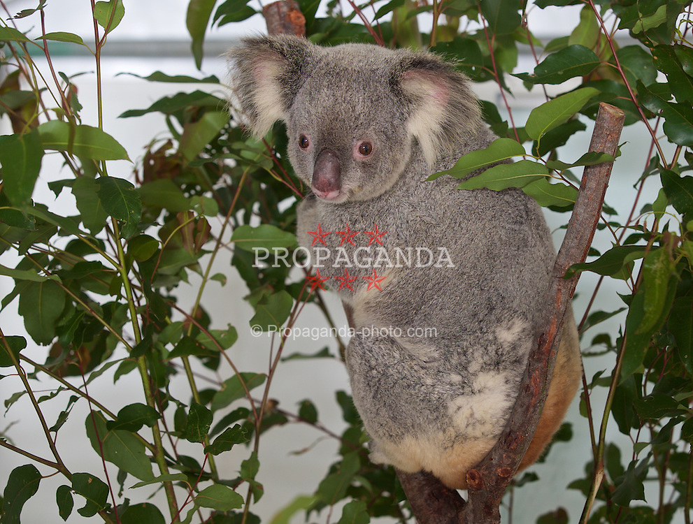 BRISBANE, AUSTRALIA - Friday, July 17, 2015: Amber the koala bear at South Bank in Brisbane on day five of the club's preseason tour. (Pic by David Rawcliffe/Propaganda)