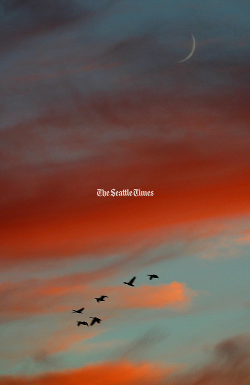 Near Ellensburg, geese fly past the sunset colored clouds with only a sliver of the moon showing. (Jim Bates / The Seattle Times)