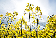 Close-up shot of oil seed rape used for bio fuels, Black Isle, Highlands, Scotland,UK