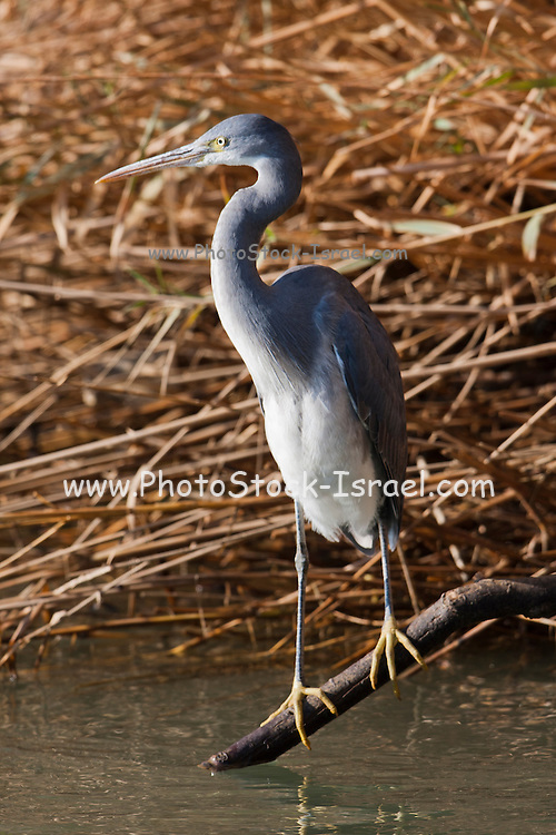 Reef Heron (Egretta gularis) hunting in the water, Eilat, Israel