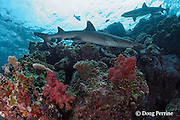whitetip reef shark, Triaenodon obesus, at Shark Reef Marine Reserve, Beqa Passage, Viti Levu, Fiji ( South Pacific Ocean )