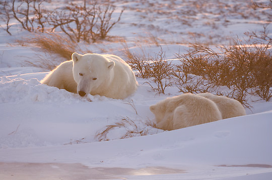Polar Bear (Ursus maritimus) mother and cubs. Churchill, Manitoba.