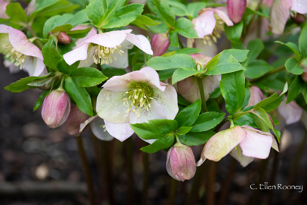 Helleborus, pink hellebores blooming in February in the garden at Chiswick House, Chiswick, London, UK