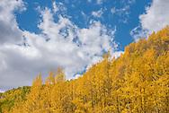 Fall foliage in the Castle Creek Valley of Aspen, Colorado.