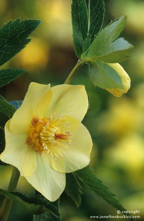 Helleborus x hybridus Ashwood Garden hybrids - syn. Helleborus orientalis hort<br /> Lenten rose