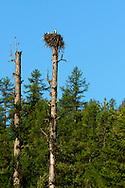 A pair of osprey nesting on a western larch snag on F.H. Stoltze Land & Lumber Co. property in the Haskill Basin. Flathead County, Montana.