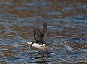 Atlantic Puffin; Fratercula arctica; Canada, Nova Scotia, Bird Islands