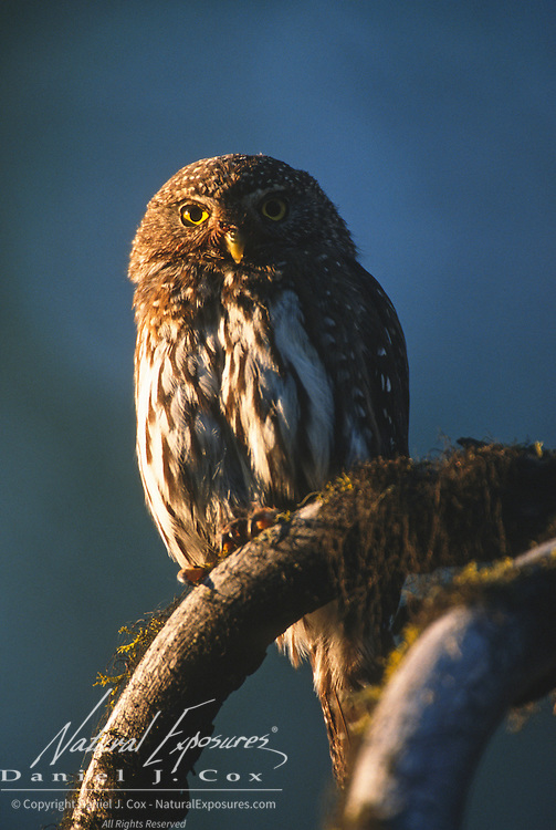 Northern Pygmy Owl (Glaucidium gnoma) male perched while hunting during summer in western Montana.