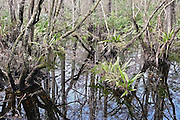 The still, cypress-stained dark water of Corkscrew Swamp has appealing reflective qualities.  Reminders of blue sky and white clouds may sometimes be seen more easily along the forest floor than through tangled branches directly overhead.