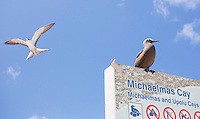 Common Noddy (Anous stolidus) perched on a National park sign and Sooty Tern (Onychoprion fuscatus) flying overhead at Michaelmas Cay, Great Barrier Reef, Australia