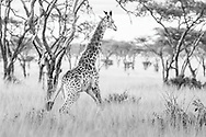 Giraffe's dodge trees when they run.