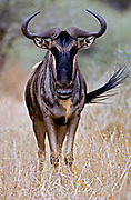 Common Wildebeest, Connochaetes taurinus. Light colour form from tarangire NP, Tanzania where the animals are resident and do not migrate.