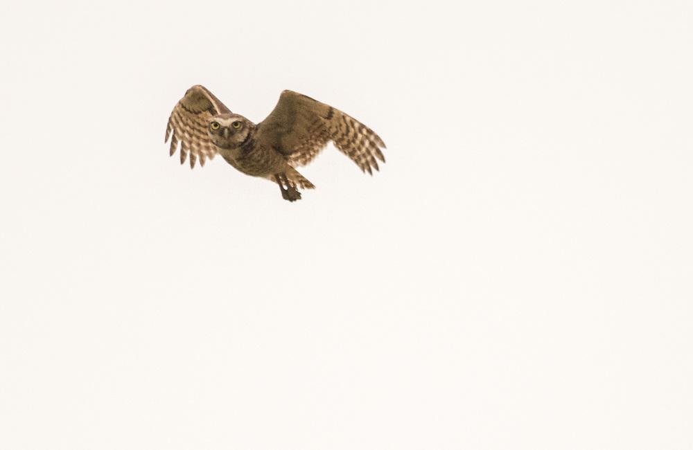 Borrowing owl in flight, Pantanal, Brazil.