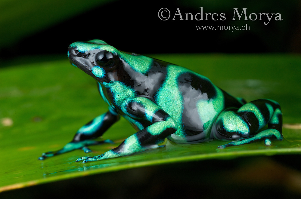 Green and Black Poison Dart Frog, Dendrobates auratus, also known as the green and black poison dart frog or the green and black poison arrow frog, and sometimes mint poison frog (not to be confused with the mint-green color morph of P. terribilis), is a brightly-colored member of the order Anura native to Central America and north-western parts of South America. It is one of the most variable of all poison dart frogs next to Dendrobates tinctorius. It is considered to be of least concern from a conservation standpoint by the International Union for Conservation of Nature (IUCN).<br /> The green-and-black poison frog, while not the most toxic poison dart frog, is still a highly toxic animal. The very small amount of poison the frog possesses is still enough to make a human ill. Like most poison dart frogs, however, the green-and-black poison dart frog will only release its poison if it feels that it is threatened, and wild specimens can be handled if the human holding it is calm and relaxed. The green-and-black poison frog, as with all poison dart frogs, loses its toxicity in captivity due to a change in diet. This has led scientists to believe that the green-and-black poison frog actually takes its poison from the ants it feeds on. Image by Andres Morya