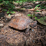 The spiny turtle (Heosemys spinosa) inhabits lowland and hill rainforest, usually in the vicinity of small streams, mainly in hill areas up to 900 m above sea level. In Thiland its distribution is limited to the south of the country.