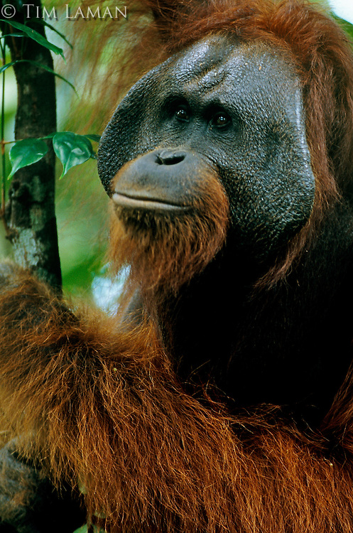 Adult male Bornean Orangutan (Pongo pygmaeus).  Gunung Palung National Park, West Kalimantan, Indonesia.