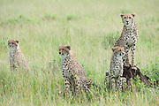 Cheetah (Acinonyx jubatus) female overlooks her terrority with 3 cubs at her side