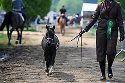 © London News Pictures. 12/05/2016. Windsor, UK. A miniature pony returning to stables after competition on the first day of the 2016 Royal Windsor Horse Show, held in the grounds of Windsor Castle in Berkshire, England. The opening day of the event was cancelled due to heavy rain and waterlogged grounds. This years event is part of HRH Queen Elizabeth II's 90th birthday celebrations.  Photo credit: Ben Cawthra/LNP