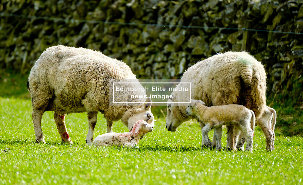 Curious sheep and lambs look on as mum licks her new born lamb.  This lamb is only seconds old.  Scottish borders,<br /> <br /> (c) Andrew Wilson | Edinburgh Elite media
