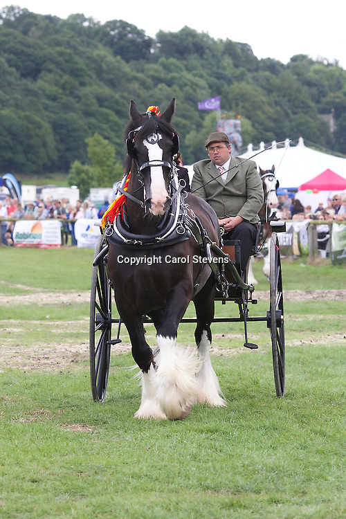 Warwick Shire Horse Carriages' Baron