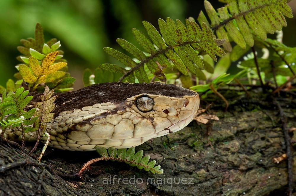 Fer-de-lance snake (Bothrops asper), Soberania national park, Panama, Central America